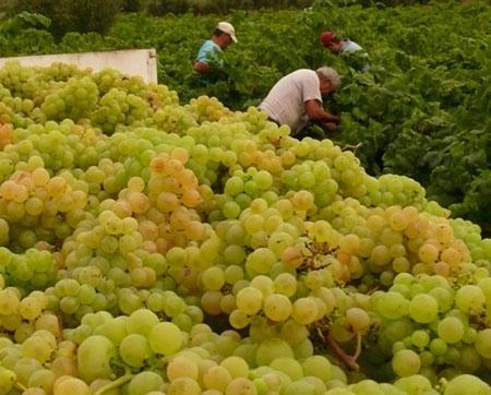 Vendimia uvas DO Rueda en Ávila